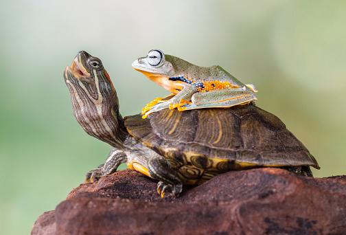 Frog「Frog sitting on a turtle」:スマホ壁紙(18)