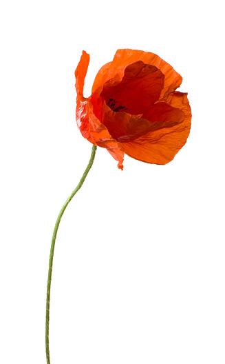 Single Flower「Poppy.」:スマホ壁紙(4)