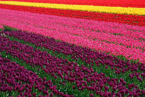 Keukenhof Gardens「Rows of Tulips」:スマホ壁紙(14)