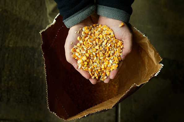 Corn「Moves To Grow GM Crops In Britain Rejected By British MPs」:写真・画像(3)[壁紙.com]
