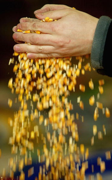 Corn「Moves To Grow GM Crops In Britain Rejected By British MPs」:写真・画像(9)[壁紙.com]