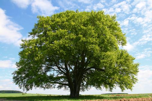 Single Tree「Old Beech Tree in Summer」:スマホ壁紙(10)