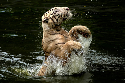 Tiger「Indonesia, Depok, Tiger jumping from water to catch food」:スマホ壁紙(12)