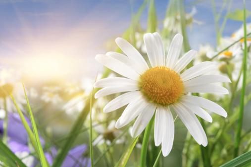Wildflower「Daisy Close-Up In Sunlight」:スマホ壁紙(13)