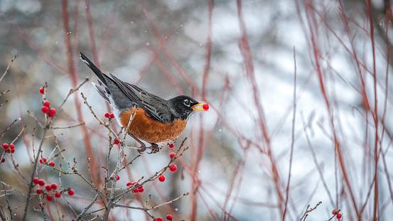 Boreal Forest「The American Robin(Turdus migratorius),American Robin.」:スマホ壁紙(15)