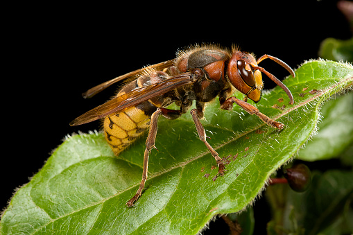 Poisonous「Vespa crabro (european hornet)」:スマホ壁紙(10)