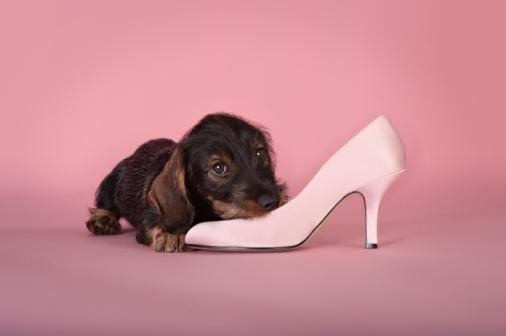 Puppy「Dachshund puppy chewing a shoe」:スマホ壁紙(0)