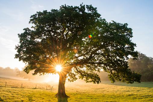 Oak Tree「Oak tree at sunrise」:スマホ壁紙(18)