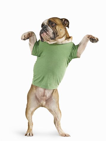 Cool Attitude「Standing Bulldog Wearing T-shirt On White Background」:スマホ壁紙(9)