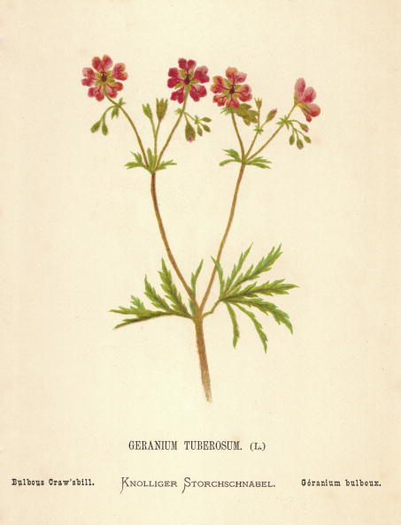 Botany「Geranium Tuberosum」:写真・画像(18)[壁紙.com]