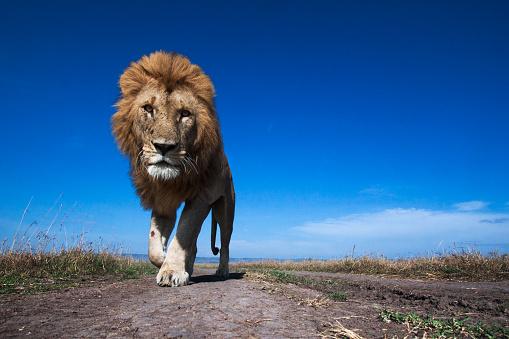 Approaching「Lion male walking along a track」:スマホ壁紙(7)