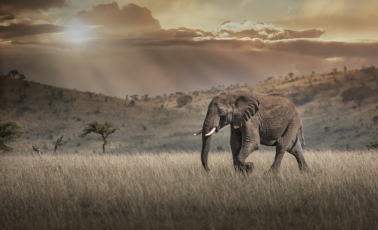 Walking「Elephant grazing in savanna field」:スマホ壁紙(15)
