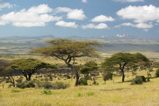 ケニア山「Kenya, Lewa Conservancy, Acacia Trees on savannah near Mount Kenya」:スマホ壁紙(3)