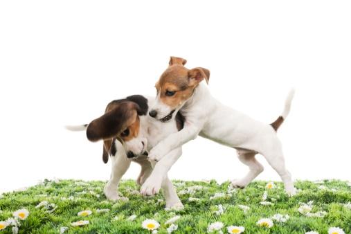 Jack Russell Terrier「jack russell terrier and beagle」:スマホ壁紙(4)