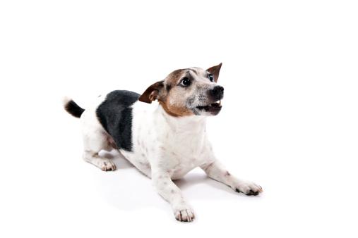 Jack Russell Terrier「Jack Russell Terrier」:スマホ壁紙(10)