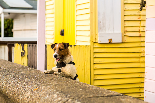 Making A Face「Jack Russell Puppy Jumps Up On A Wall」:スマホ壁紙(7)