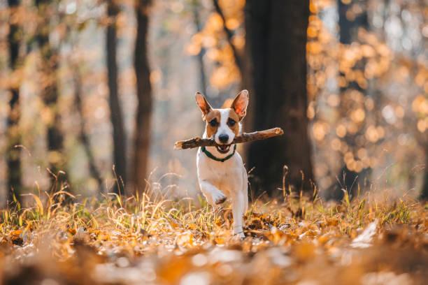 Jack Russell Parson Terrier Running Toward The Camera:スマホ壁紙(壁紙.com)