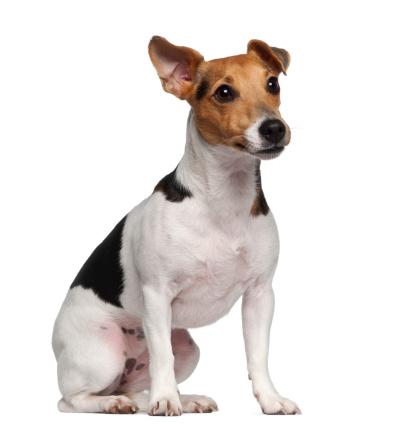 Belgium「Jack Russell Terrier (1 year old) sitting」:スマホ壁紙(5)