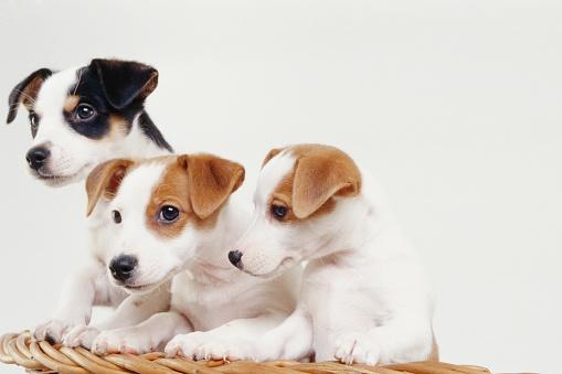 Three Animals「Jack Russell Terrier puppies in basket」:スマホ壁紙(18)