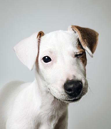 Headshot「Jack Russell puppy portrait」:スマホ壁紙(12)