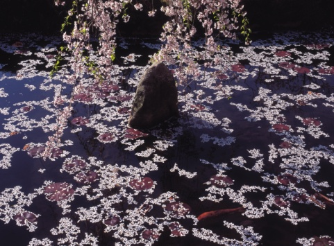 Carp「Flower petals on a pond」:スマホ壁紙(4)