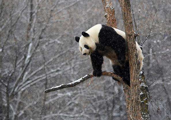 Animal Themes「Giant Pandas Play In Changchun's First Snow」:写真・画像(2)[壁紙.com]