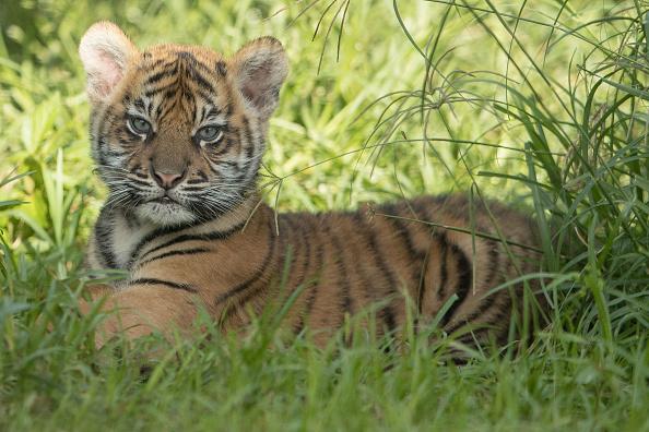 Tiger「Rare Sumatran Tiger Cubs Make Public Debut At Taronga Zoo」:写真・画像(7)[壁紙.com]