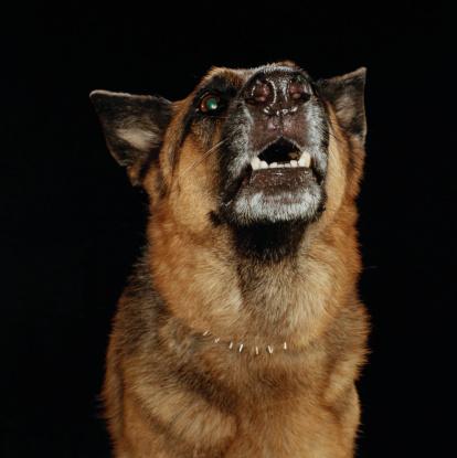 Uncertainty「German Shepherd Barking」:スマホ壁紙(4)