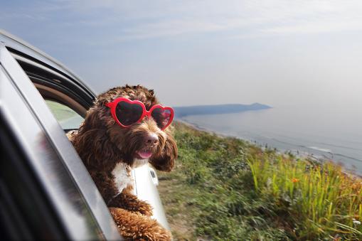 Pets「Dog leaning out of car window on coast road」:スマホ壁紙(12)