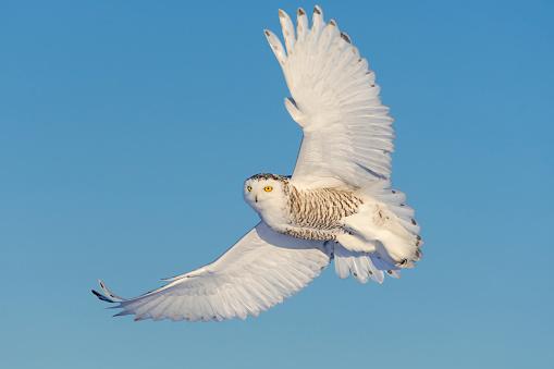 Females「Snowy owl, bubo scandiacus, bird in flight」:スマホ壁紙(7)