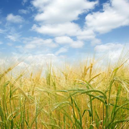Saskatchewan「XL barley close-up」:スマホ壁紙(9)