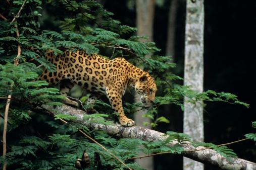 Walking「Jaguar (Panthera onca) in tree」:スマホ壁紙(3)