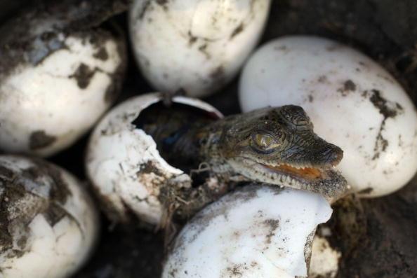 Restoring「Biologist Works With Crocodiles Near Nuclear Power Plant」:写真・画像(15)[壁紙.com]