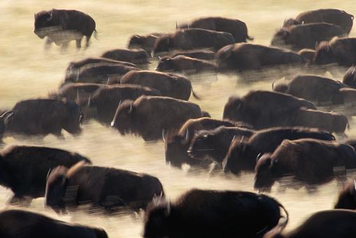 1990-1999「Bison Stampede」:スマホ壁紙(1)