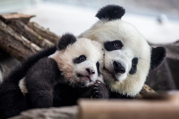 Animal Themes「Berlin Zoo To Present Panda Babies To The Public」:写真・画像(18)[壁紙.com]