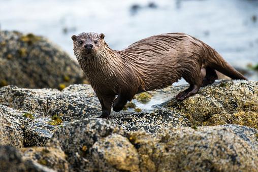 Rocky Coastline「European otter on shoreline rocks」:スマホ壁紙(8)