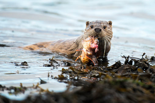 質感「European otter at shoreline with red scorpionfish」:スマホ壁紙(4)
