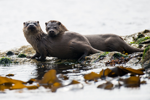 Animal Family「European otter mother with cub on shoreline rocks」:スマホ壁紙(6)