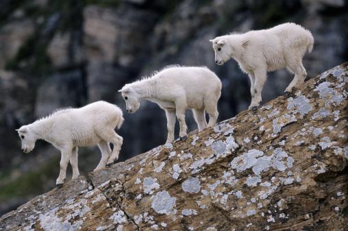 Log「Mountain goat kids (Oreamnos americanus) on fallen wood」:スマホ壁紙(11)
