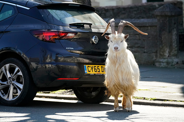 動物「Goats Roam Welsh Town As Coronavirus Lockdown Empties Its Streets」:写真・画像(9)[壁紙.com]