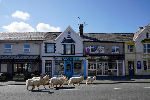 動物「Goats Roam Welsh Town As Coronavirus Lockdown Empties Its Streets」:写真・画像(4)[壁紙.com]
