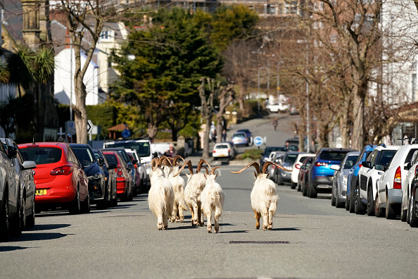動物「Goats Roam Welsh Town As Coronavirus Lockdown Empties Its Streets」:写真・画像(8)[壁紙.com]