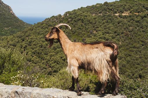 Horned「Mountain goat in Corsica」:スマホ壁紙(5)