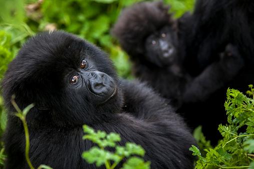 Volcano「Mountain gorillas in the jungle of Rwandas Virunga Mountains.」:スマホ壁紙(17)