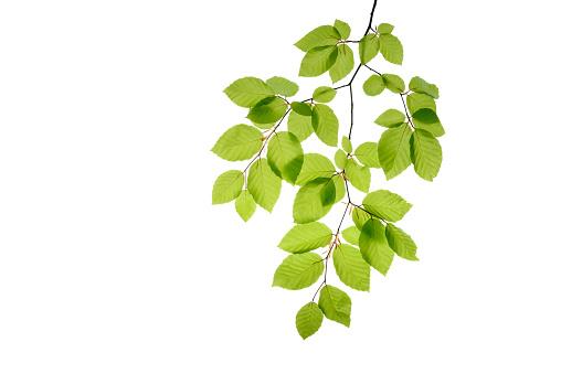 Development「Branch of beech tree, Fagus sylvatica, white background」:スマホ壁紙(2)