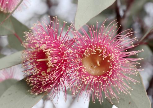 Western Australia「Flowering gum tree blossom」:スマホ壁紙(18)