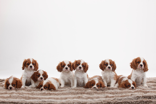 Puppy「Ten Cavalier King Charles Spaniel puppies sitting and lying in a row in front of white background」:スマホ壁紙(10)