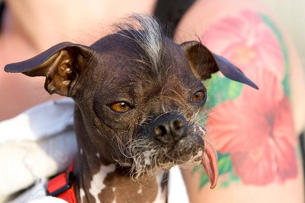 David Paul Morris「Furry Friends Vie For Title Of Worlds Ugliest Dog」:写真・画像(14)[壁紙.com]