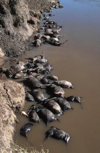 建築「Dead blue wildebeests, Connochaetes taurinus, at migration crossing point. Maasai Mara National Park, Kenya, Southern & East Africa.」:スマホ壁紙(4)