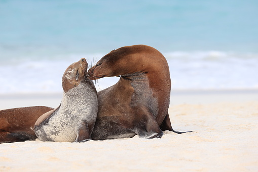 Sea Lion「Galapagos sea lion」:スマホ壁紙(15)